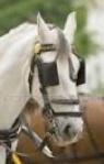Horse w: Blinders